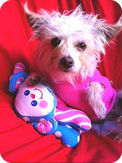 Yorkie, Yorkshire Terrier Mix Dog for adoption in El Cajon, California - LITTLE LULU, tiny 4 Lbs