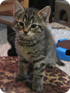 Domestic Shorthair Kitten for adoption in Portland, Oregon - Benjamin