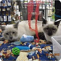 Adopt A Pet :: Siam and Sushi - Riverside, RI