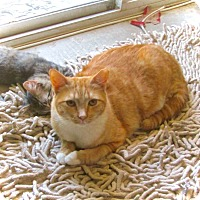 Domestic Shorthair Cat for adoption in Palm Springs, California - Tino