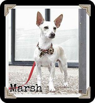 Chihuahua/Italian Greyhound Mix Dog for adoption in Arlington, Texas - Marsh
