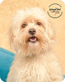shih tzu poodle mix rescue shih tzu poodle miniature mix dog for adoption in 5596