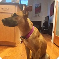 Shepherd (Unknown Type)/Black Mouth Cur Mix Dog for adoption in Houston, Texas - Kiera