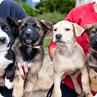 Adopt A Pet :: Lemon Puppies - Males - San Diego, CA