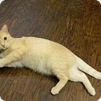 Adopt A Pet :: Mister Kitty - The Colony, TX