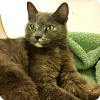 Domestic Shorthair Cat for adoption in Fort Smith, Arkansas - Jinxy