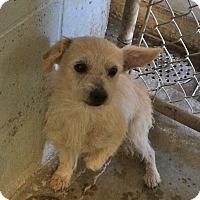 Adopt A Pet :: Meatball - El Centro, CA