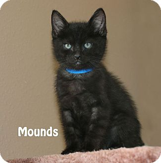 Domestic Shorthair Kitten for adoption in Idaho Falls, Idaho - Mounds