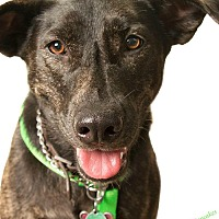 Dutch Shepherd Dog for adoption in Alabaster, Alabama - FREEDOM the WONDER GIRL