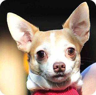 Chihuahua Dog for adoption in Vernonia, Oregon - TT
