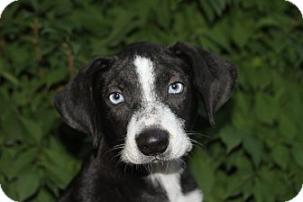 Labrador Retriever/Cattle Dog Mix Puppy for adoption in Joliet, Illinois - Lisbon
