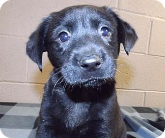 Labrador Retriever Mix Puppy for adoption in Oxford, Mississippi - Sutter