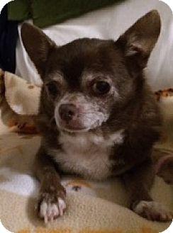 Chihuahua Dog for adoption in Satellite Beach, Florida - Mocha