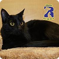 Adopt A Pet :: Ebony - ROWLETT, TX