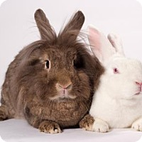 Lionhead for adoption in Kingston, Ontario - Lucy and Bishop