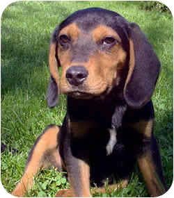 Beagle Mix Puppy for adoption in Novi, Michigan - Smarty Jones