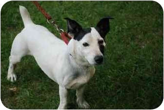 Jack Russell Terrier Mix Dog for adoption in Rhinebeck, New York - Kimbo