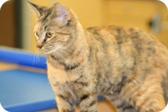 American Shorthair Cat for adoption in Hagerstown, Maryland - Kalli