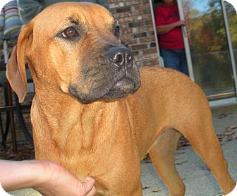 Boxer/Bloodhound Mix Dog for adoption in Cranford, New Jersey - Ali ...