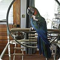 Adopt A Pet :: Houdini - St. Louis, MO