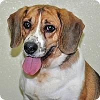 Adopt A Pet :: Chauncy - Port Washington, NY