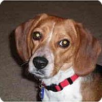 Adopt A Pet :: Bella B - Phoenix, AZ