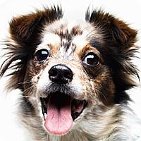 Adopt A Pet :: Bali - Santa Monica, CA