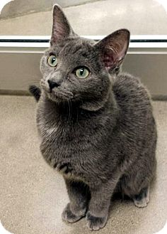 Domestic Shorthair Cat for adoption in Edmond, Oklahoma - Buttercup