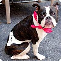 Adopt A Pet :: Shay - Sunderland, MA