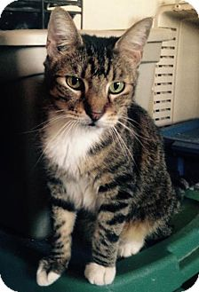 Domestic Shorthair Cat for adoption in Alhambra, California - Mijo