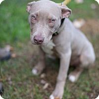Adopt A Pet :: Vera - Reisterstown, MD