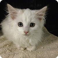 Adopt A Pet :: Marshmallow - East Brunswick, NJ