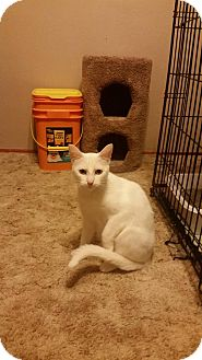 Domestic Shorthair Cat for adoption in St. Louis, Missouri - Kylie