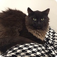 Adopt A Pet :: Snoop Catt - THORNHILL, ON