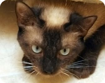 Siamese Cat for adoption in Pasadena, California - Sable