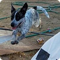 Adopt A Pet :: Oreo - Surprise, AZ