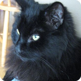 Domestic Longhair Cat for adoption in Toronto, Ontario - Pete *declawed*