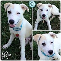 Adopt A Pet :: Ria - Kimberton, PA