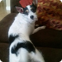 Toy Fox Terrier/Jack Russell Terrier Mix Dog for adoption in Henderson, Nevada - Frankie