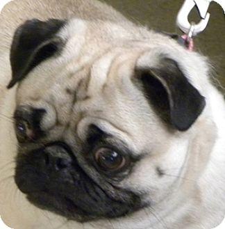 Pug Dog for adoption in Farmington, Michigan - Callie