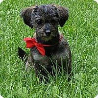 Adopt A Pet :: Eddie (Toto) - Tenafly, NJ