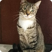 Domestic Shorthair Cat for adoption in Philadelphia, Pennsylvania - Augustus