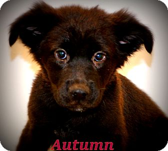 Border Collie/Retriever (Unknown Type) Mix Puppy for adoption in Glastonbury, Connecticut - Autumn Grace~adopted!