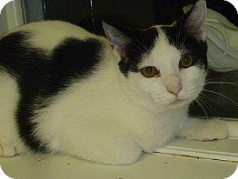 Domestic Shorthair Cat for adoption in Hamburg, New York - Steve