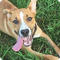 Labrador Retriever/Shepherd (Unknown Type) Mix Dog for adoption in West Hartford, Connecticut - Happy