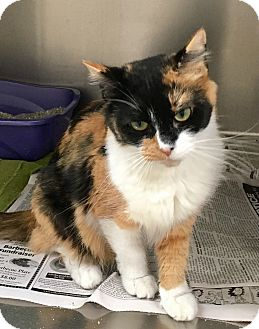 Calico Cat for adoption in North Wilkesboro, North Carolina - Sarah