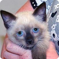 Siamese Kitten for adoption in Wildomar, California - 322787