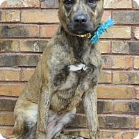 Dutch Shepherd Mix Dog for adoption in Benbrook, Texas - Callie