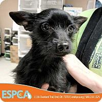 Adopt A Pet :: Duke - Enid, OK