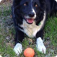 Adopt A Pet :: Stryker - Allen, TX